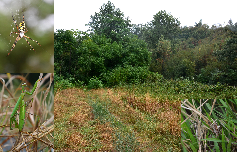 V okolí města Bardolina (300 m n. m.) sbohatým zastoupením rovnokřídlého hmyzu a kudlanek. Křižák pruhovaný (Argiope bruennichi Scopoli, 1772), pár kudlanky nábožné Mantis religiosa Linnaeus, 1758 a pár saranče Pezotettix giornae Rossi, 1794, (Foto: K.K.)