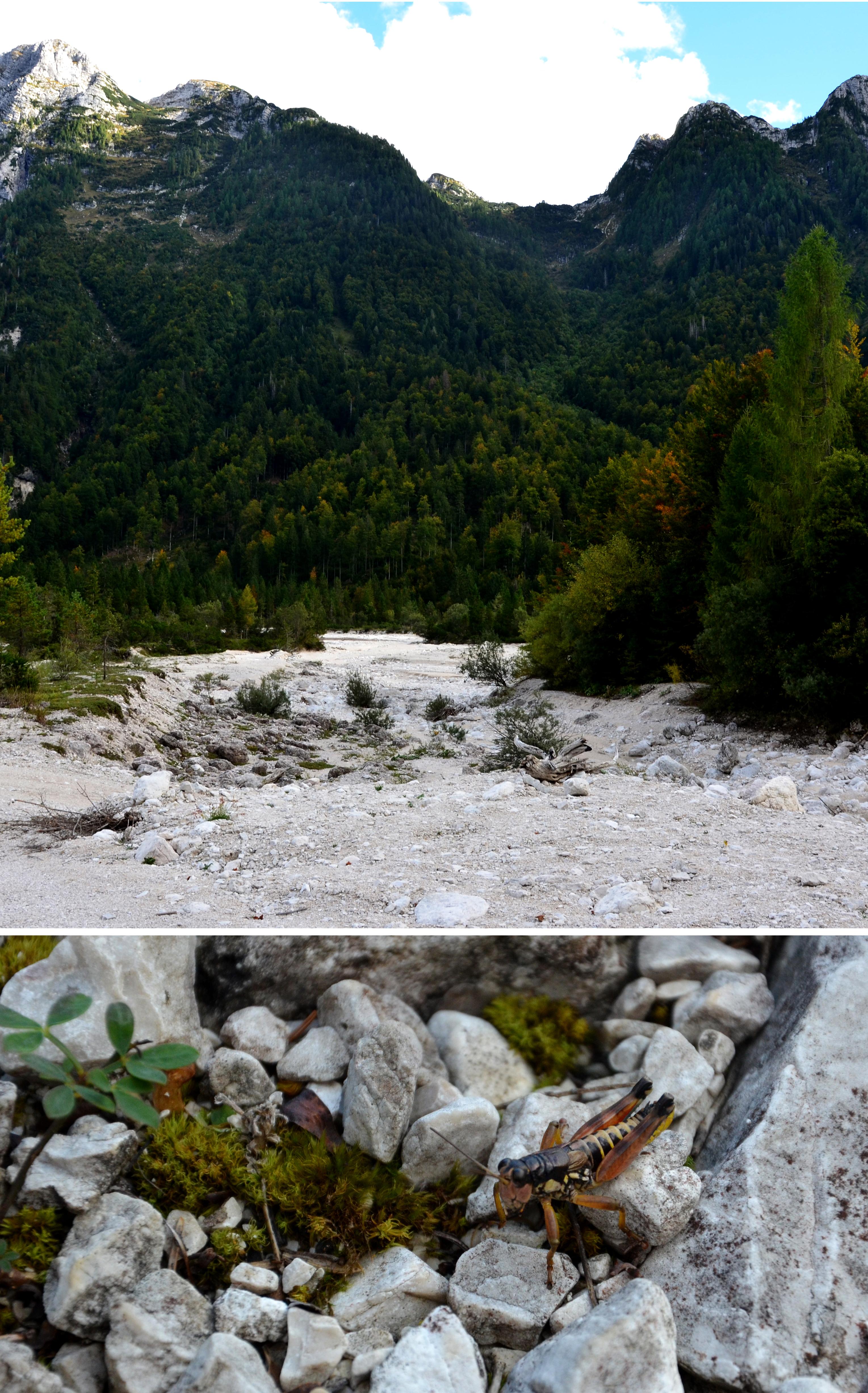 Štěrkoviště horského toku Rio Lago (1 000 m n. m.) (provincie Udine, Itálie) svýskytem saranče Podisma pedestris (Linnaeus, 1758) (Acrididae: Melanoplinae), (Foto: K.K.)