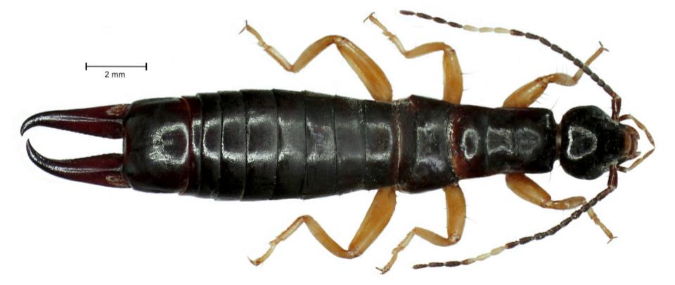 E. arcanum