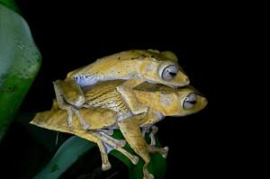 Polypedates otilophus (photo Musiolek)