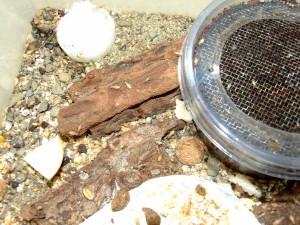 nymfy F2 generace v chovném boxu/F2 nymphs inside rearing box