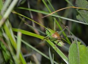 Pholidoptera frivaldskyi  (foto: KK)