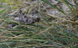 Psophus stridulus  (foto: KK)