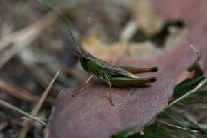 Chorthippus paralellus (foto: OK)