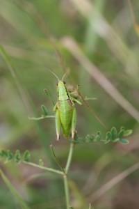 Pseudopodisma nagyi (foto: OK)