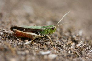 Stenobothrus lineatus (foto: OK)