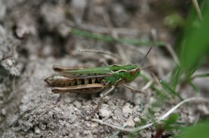 Stenobothrus stigmaticus (foto: OK)