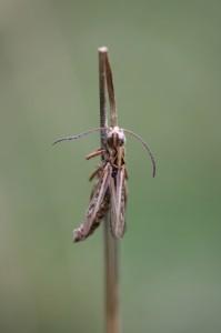 saranče rodu Chorthippus napadena parazitickou houbou (foto: OK)